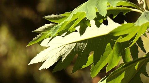 Bocconia frutescens is plume or tree poppy, celandine, parrotweed, sea oxeye daisy, John Crow bush, gordolobo, llorasangre, tabaquillo, palo amarillo, palo de toro and pan cimarron, and bois codine