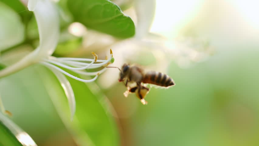 Close up of one honey bee flying around honeysuckle flowers bee collecting nectar pollen on spring sunny day slow motion | Shutterstock HD Video #1028346008