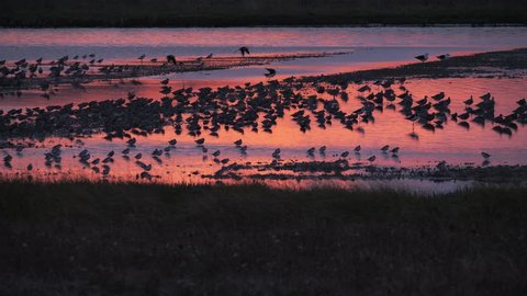 Large flock of shorebirds flying to roost at sunset in an estuary in Miranda, New Zealand