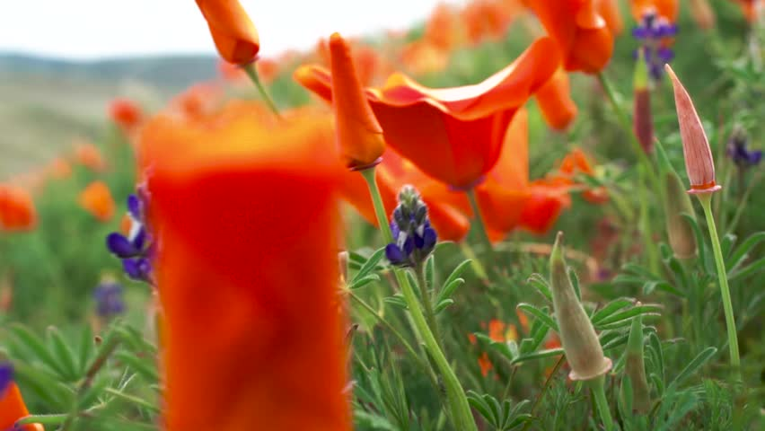 Close Up, Orange Poppies and Blue Lupine Wildflowers in Meadow on Windy Day