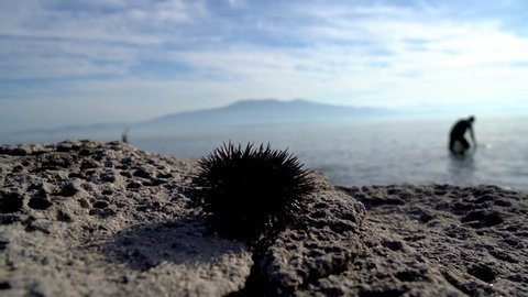 sea urchin on rocks while someone harvesting at the background, su02