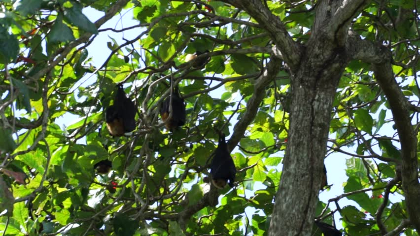 Group of Flying Fox (Pteropus Seychellensis) hanging upside down on tree branches, wrapped in their own wings, in front of a blurry background in the jungle of La Digue, Seychelles. | Shutterstock HD Video #1028647268