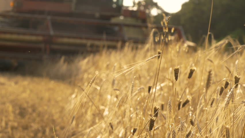 Thresher farming in golden wheat field. Aerial view of threshing machine working in Italy. Trebbiatura_GH5_12