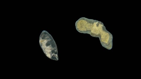two worms under a microscope, ciliary worms or Turbellaria, a type of flatworms are free-living, but there are also parasites, hermaphrodites