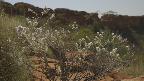 Close-up still shot  a desert shrub with white flowers, and Spinifex grass at the Kings Canyon, Red Centre, NT
