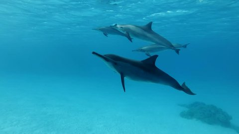 A pod of dolphins swim under surface of the blue water. Spinner Dolphin (Stenella longirostris), Underwater shot, Low-angle shot, Closeup. Red Sea, Sataya Reef (Dolphin House) Marsa Alam, Egypt