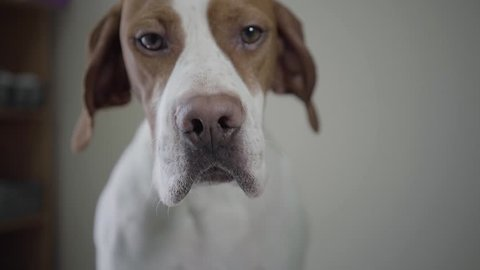Portrait sad pointer dog with brown spots looking in the camera. Adorable dog with kind hazelnut eyes licking himself and sniffing. The pet in the veterinary clinic
