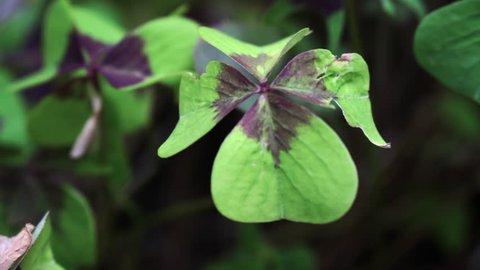 close-up four-leaf clover with a damaged leaf