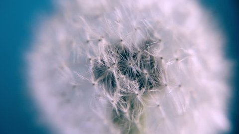 Dandelion on a blue background. Blue abstract dandelion flower background, extreme closeup with soft focus. Dandelion seeds extreme closeup, artistic floral spring and summer pattern