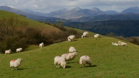 Sheep on hill mound with mountains in the background, North Wales in the UK. Version = Zoom Out - 15 Seconds