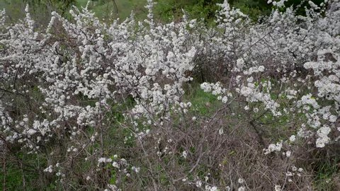 Flowering sloe berries bush at springtime,  slow camera movement from left to right.