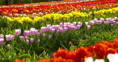 tulips on agruiculture field holland