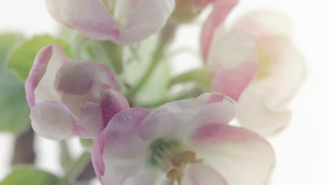 Apple Spring flowers opening. Beautiful Spring Apricot tree blossom open timelapse, extreme close up. Time lapse of Easter fresh pink blossoming apples closeup isolated on white. Blooming 4K UHD video