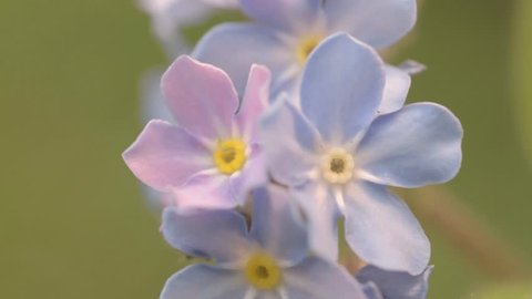 Forget me nots tiny blue flowers