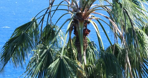 Palm Tree Waving In The Wind, The Top Of The Washingtonia Robusta Palm Tree (Mexican Fan Palm Or Mexican Washingtonia) Against The Blue Mediterranean Sea, Ventimiglia, Liguria, Italy, Europe. Close Up