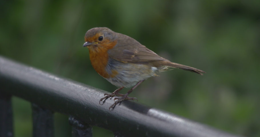 Robin bird perched on railing close up sunshine  | Shutterstock HD Video #1029508838