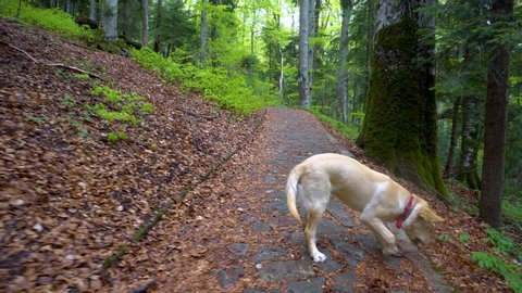 Dog of breed Labrador Retriever walking through forest. Steadicam gimbal shot. Brown blonde dog puppy runs in the mountain forest. A big puppy plays with wooden stick. Bring the wooden stick back.