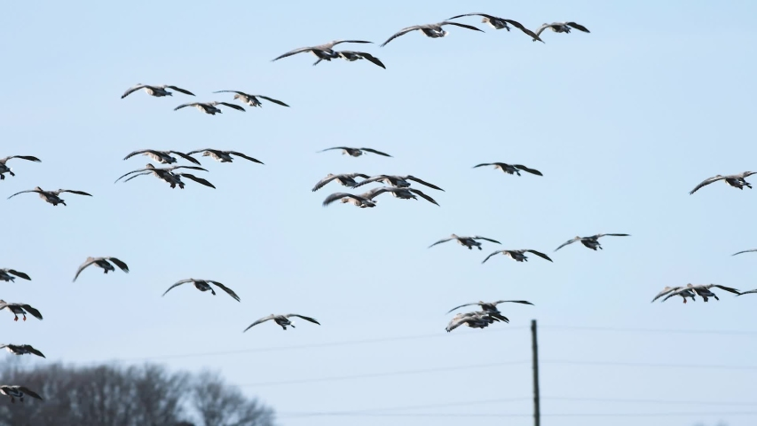Thousands of geese flying above field and eating cereal | Shutterstock HD Video #1029625688