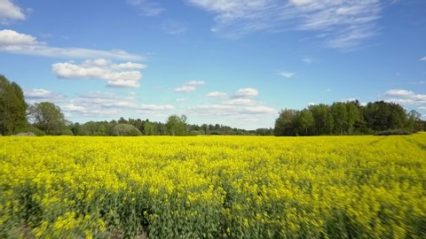 Canola rapeseed field in aerial 4k drone shot. Landscape low angle view in Sweden, Scandinavia. Raps rape colza plats on sunny day