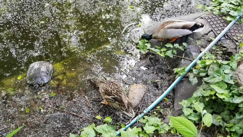 A male and a female duck is drinking from a pond. A red-eared slider turtle next to the ducks is looking for some food.