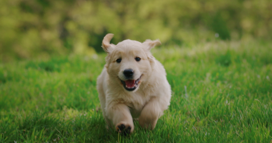 Slow motion of a playful puppy of pedigreed Golden Retriever dog is running in a green park in a sunny day.
