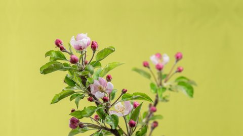 Apple tree flowers blooming in spring time lapse in organic garden