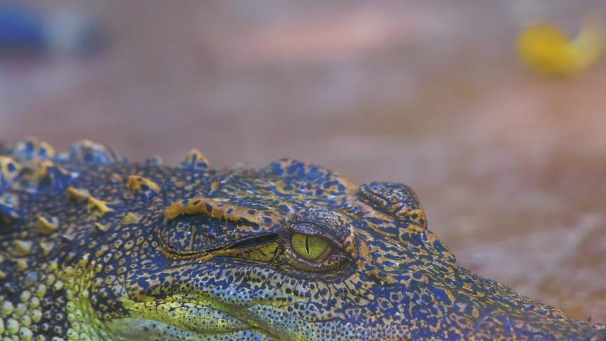 4K video of Siamese crocodile, Thailand. | Shutterstock HD Video #1030017758