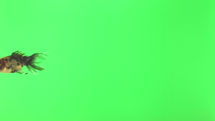 Unusual fish with big eyes. Isolated green background. Animal chroma key. | Shutterstock HD Video #1030088708
