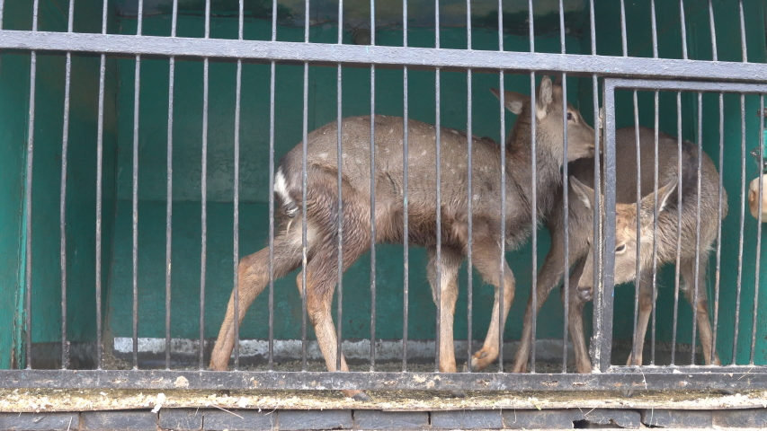 Pare of axis deer (Cervus axis) is not free in small cages with terrible conditions of mobile zoo | Shutterstock HD Video #1030148048