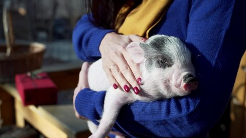 Unidentified woman is stroking little piglet laying in her hands and having a nap
