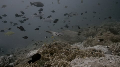 Scribbled Leatherjacket Filefish (Aluterus scriptus) in coral of Raja Ampat Indonesia.