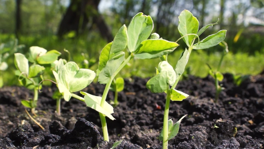 Young pea sprouts on a sunny day in the garden, Agriculture, growing vegetables | Shutterstock HD Video #1030302128