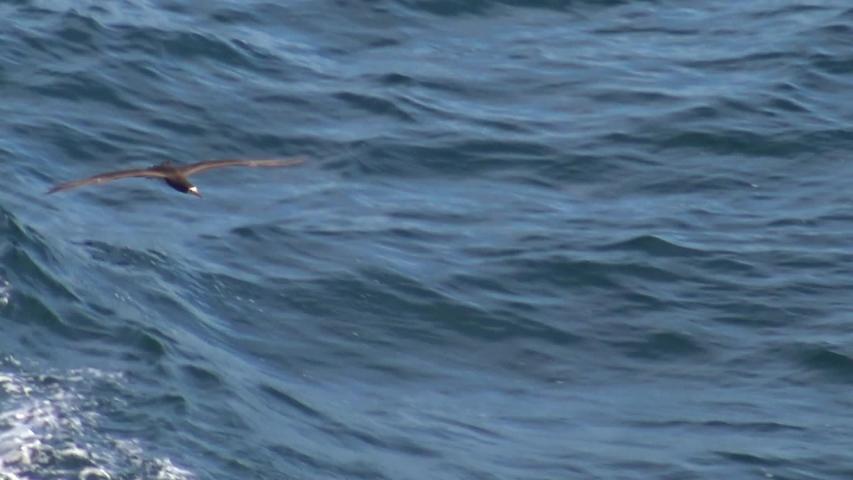 Brown booby soaring along avoiding the breaking waves in slow motion   Shutterstock HD Video #1030313048