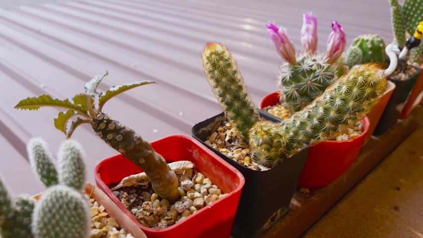 close up view of the little cactus in mini garden motion footage video clip