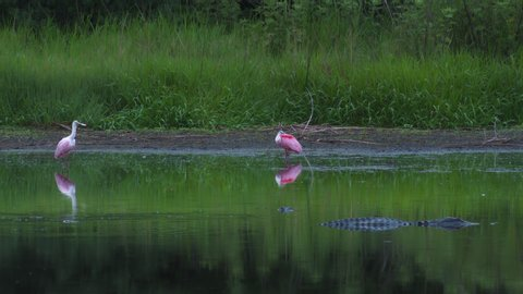 Roseate Spoonbill birds standing silently in wetlands near an alligator