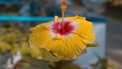 Very beautiful tropical yellow flower Hibiscus Sabdariffa, Goa, India. Shot in motion