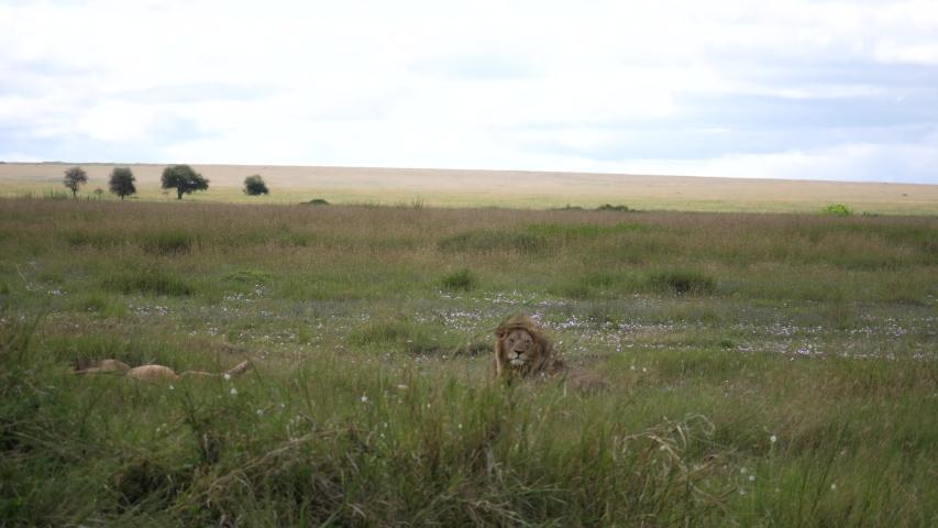 Lion resting, Savannah, Serengeti, Tanzania