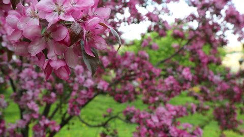 Bright pink blossom apple tree is blooming in the city park at springtime. Selected focus. Blur background.