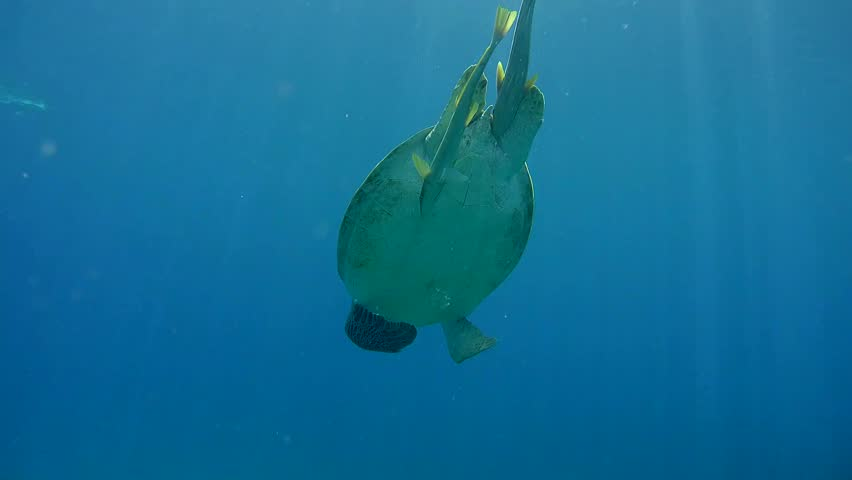 green sea turtle (Chelonia mydas) eating seaweed at the bottom, Red sea, Marsa Alam, Abu Dabab, Egypt