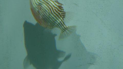 Blowfish in a water tank