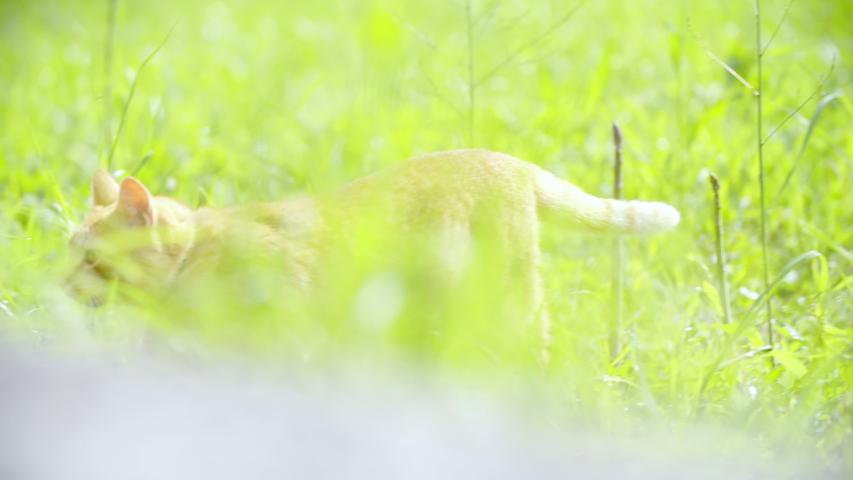 Beautiful ginger cat walk outside in the sun 4K | Shutterstock HD Video #1031108588