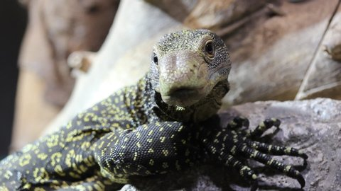 Crocodile monitor lizard (Varanus salvadorii) close up