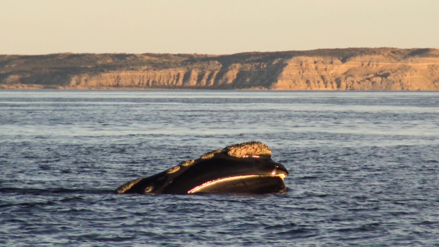 Southern right whale feeding at the surface in patagonia at sunset 4k | Shutterstock HD Video #1032256478