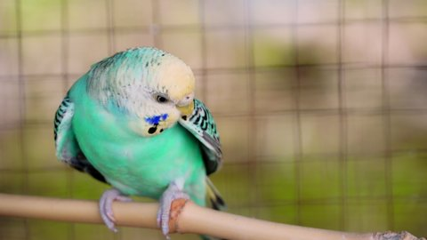 4k resolution: budgerigar, birds in the breeding season will stay in pairs