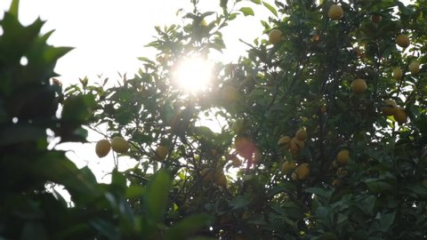The sun peaks through a lemon tree as the camera moves, creating a beautiful lens flare on a summers evening abroad.