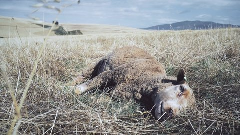 A dead ewe sheep lies in a field as flies collect around it.