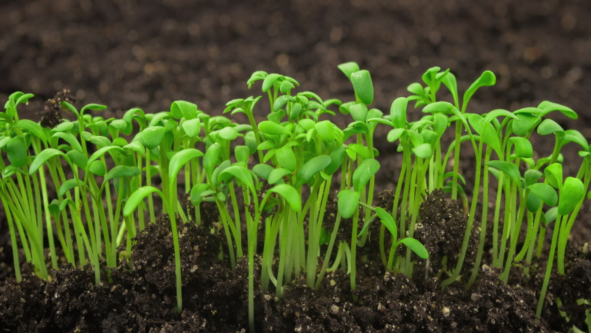 Growing plants in time lapse, sprouts germination newborn cress salad plant in greenhouse agriculture, close up | Shutterstock HD Video #1033136108