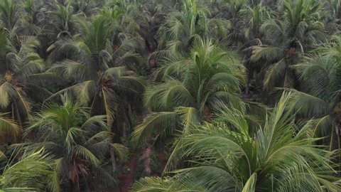 Aerial view of coconut palm trees from drone in rural indian coconut  plantation groove, kerala