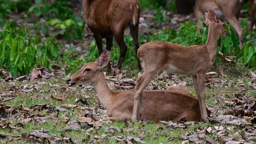 The Eld's Deer is an Endangered species due to habitat loss and hunting;  | Shutterstock HD Video #1033274468
