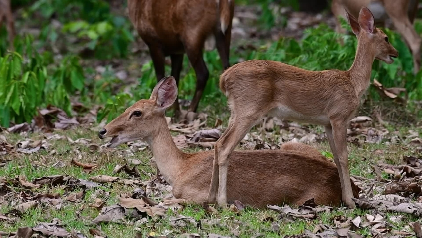 The Eld's Deer is an Endangered species due to habitat loss and hunting;  | Shutterstock HD Video #1033274498